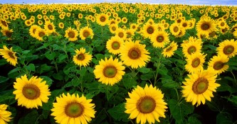 sunflower-11574_960_720